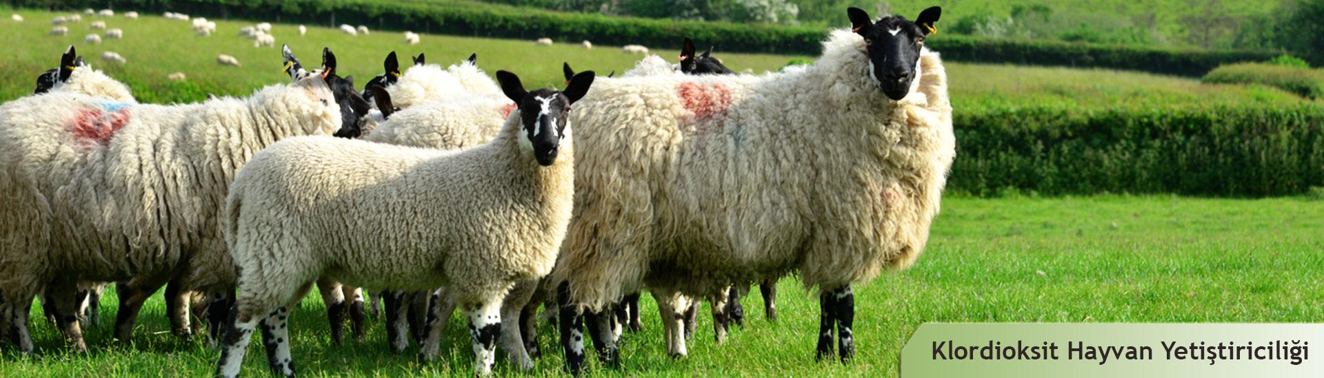 Klordioksitin hayvan yetiştiriciliği